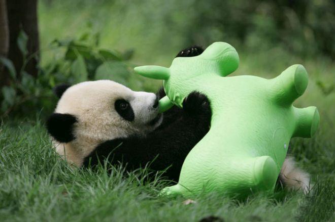 El mundo se derrite de ternura con la guardería de los ositos panda