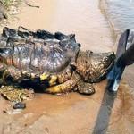 Extraño descubrimiento de una tortuga que parece un dinosaurio en Rusia