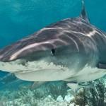 tiburón más grande del mundo