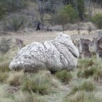 Autoridades determinan especie de la criatura peluda que aterrorizó ciudad australiana