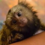 Diminuto mico tití recibe un tratamiento de spa VIP