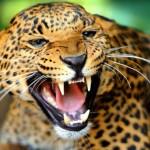 jaguar en el rio