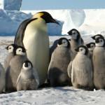 Una elaborada táctica les permite sobrevivir a los pingüinos del frío