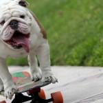 bulldog que hizo un Guinness Record slide