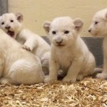 Conoce a los cachorros de león blanco
