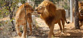 Así es el nuevo hogar de los 33 leones rescatados en Colombia y Perú