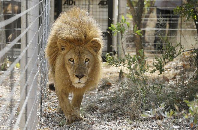 33 leones rescatados en Colombia y Perú