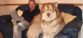 ¡Mastodontes! Fotos de impresionantes perros que son más grandes que sus dueños